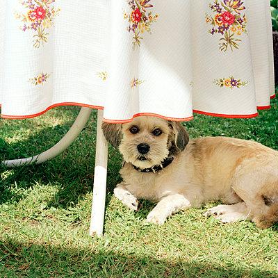 Hund unterm Gartentisch - p949m694769 von Frauke Schumann