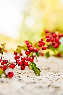 Rowan berries - p968m2021366 by roberto pastrovicchio