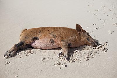 Schwein schläft im Sand - p045m1589606 von Jasmin Sander