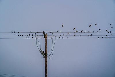 Schwarm Stare auf Stromleitungen - p1082m2263634 von Daniel Allan