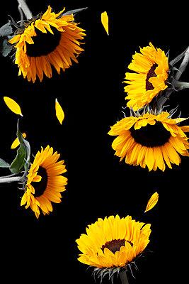 Sonnenblumen auf schwarzem Hintergrund mit fehlenden Blütenblättern - p1248m2297499 von miguel sobreira