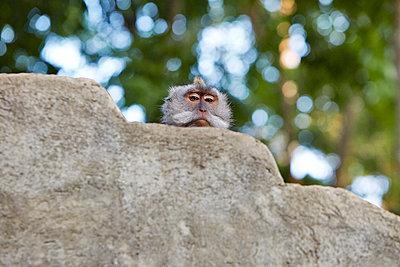 Affe hinter der Mauer, Bali - p1272m1084061 von Steffen Scheyhing