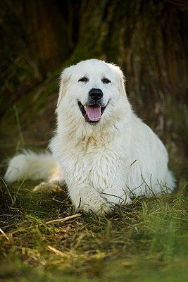 liegender Herdenschutzhund - p1273m1198493 von melanka