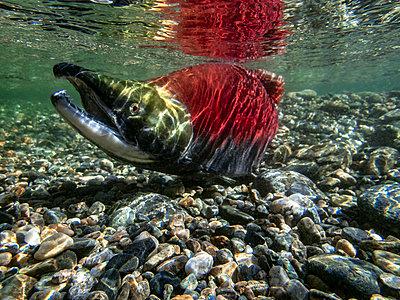 California, British Columbia, Adams River, Sockeye salmon, Oncorhynchus nerka - p300m2083317 by Gerald Nowak