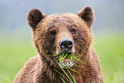 Portrait of a Grizzly - p300m884997f by Fotofeeling