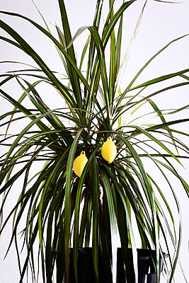 Houseplant with decoration - p1149m1162773 by Yvonne Röder