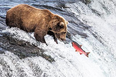 Brown bear (Ursus arctos alascensis), Brooks Lake, Katmai National Park and Preserve,  alaska peninsula, Alaska, USA - p651m2032585 by Marco Gaiotti