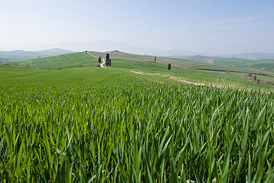 Corn fields near Pienza, Val D'Orcia, Tuscany, Italy, Europe - p871m1073269f by Angelo Cavalli