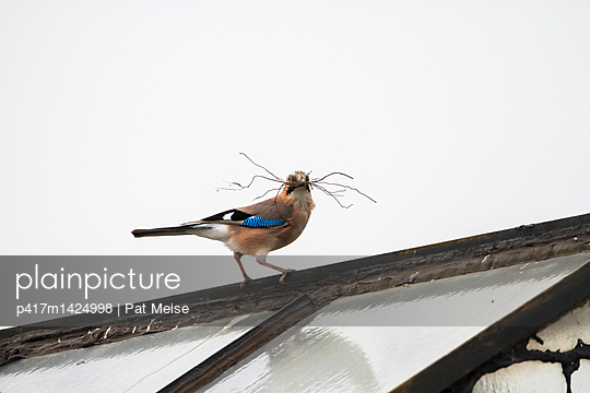 Jay - p417m1424998 by Pat Meise