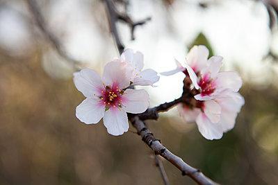 Almond Blossom La Palma - p1095m2072786 by nika