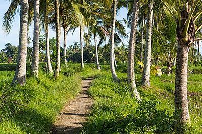 Palm trees along dirt path, Ubud, Bali, Indonesia - p555m1419391 by Marc Romanelli