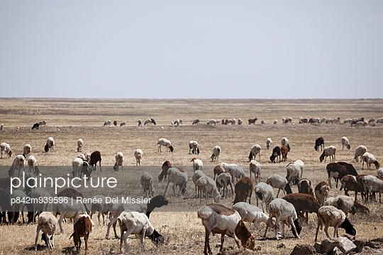 Flock of sheep in Serengeti - p842m939596 by Renée Del Missier