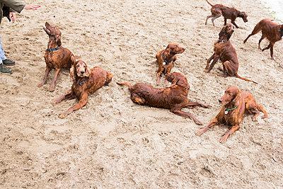 Dogs on beach - p739m1051131 by Baertels