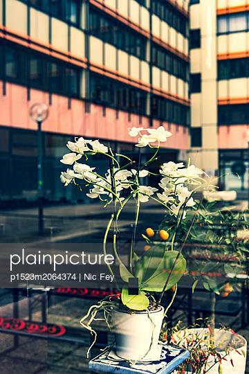 Ornamental plant seen through windowpane - p1523m2064374 by Nic Fey