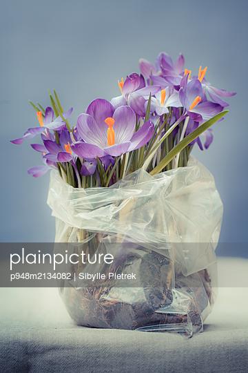 Blühende Krokusse in kleiner Plastiktüte - p948m2134082 von Sibylle Pietrek