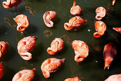 Flamingos bei der Gefiederpflege - p1189m1218645 von Adnan Arnaout