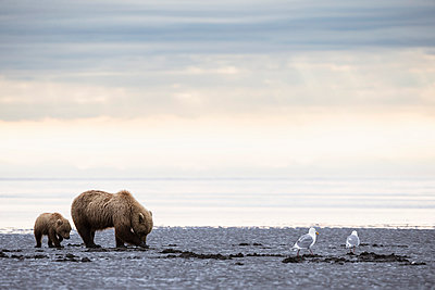 USA, Alaska, Lake Clark National Park and Preserve, Brown bear and bear cub (Ursus arctos), foraging mussels - p300m911232f by Fotofeeling