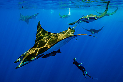 Diver swimming with manta rays - p429m768002 by George Karbus Photography