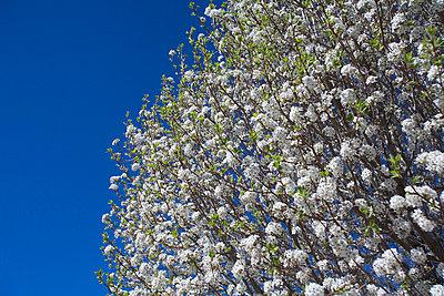 White cherry blossoms - p4423985f by Design Pics