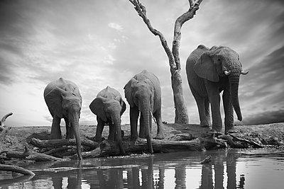 Elephant family - p616m2053518 by Thomas Eigel