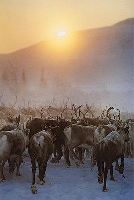 Herd Of Reindeers At Dusk, Sweden - p8472880 by Jan Håkan Dahlström