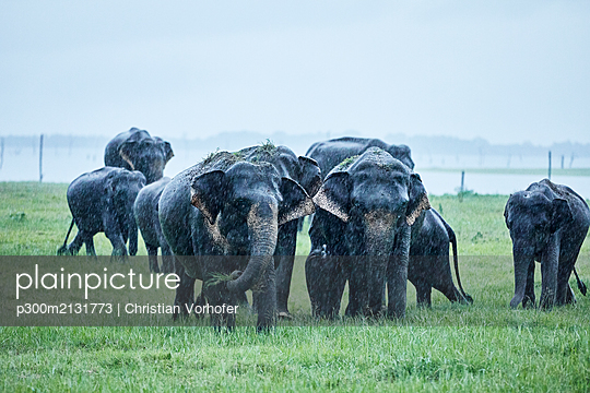Asian elephants grazing at Kaudulla National Park against clear sky - p300m2131773 by Christian Vorhofer