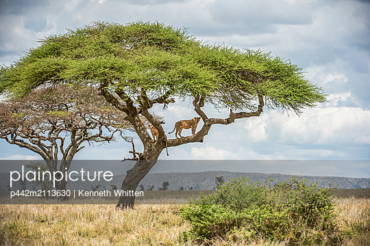 Two adult Lionesses (Panthera leo) peer down from branches of an Acacia tree in Serengeti National Park; Tanzania - p442m2113630 by Kenneth Whitten