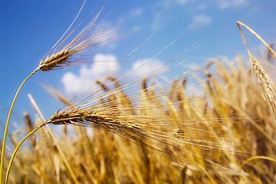 barley - p3001360f by Dieter Heinemann