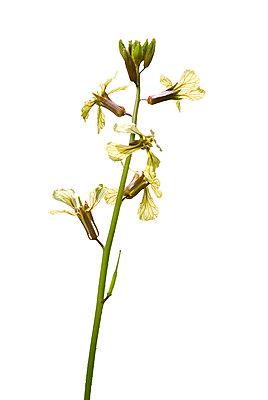 Flowering Arugula - p1562m2206341 by chinch gryniewicz