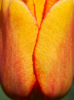 Yellow tulip flower, close-up - p1673m2260785 by Jesse Untracht-Oakner