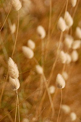 Trockene Gräser im Wind - p6810067 von Sandrine Léon