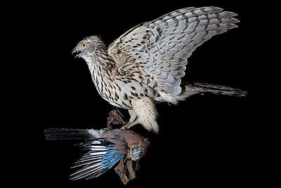 Padded eurasian jay and hawk in studio - p8520013 by Astrid Schulz