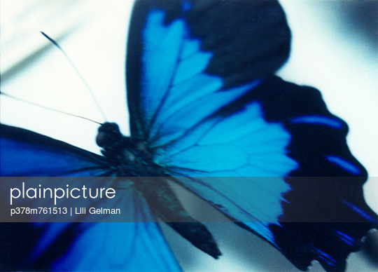Blue butterfly - p378m761513 by Lili Gelman