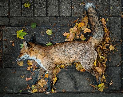 Dead fox - p1132m955264 by Mischa Keijser