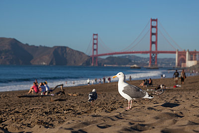 Möwe am Strand von San Francisco - p712m1466308 von Jana Kay