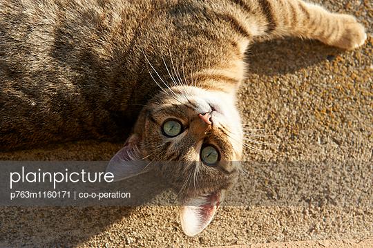 Katze liegt auf dem Rücken und schaut in die Kamera - p763m1160171 von co-o-peration