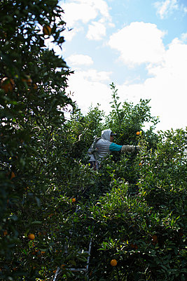 Harvest in orange plantation - p1134m1440774 by Pia Grimbühler