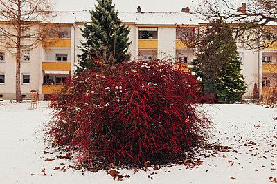 Rote Beeren im Schnee - p1184m992567 von brabanski