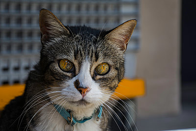 Portrait of tabby cat - p1567m2173057 by Claire Picheyre