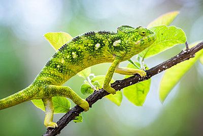 Malagasy Giant Chameleon (Furcifer oustaleti), Anja Community Reserve, Haute Matsiatra Region, Madagascar - p871m2069019 by Matthew Williams-Ellis