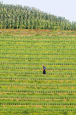 Farmer spraying rice crops for harvest at the Dragons Backbone rice terraces, Longsheng, Guangxi Province, China, Asia - p8711559 by Christian Kober