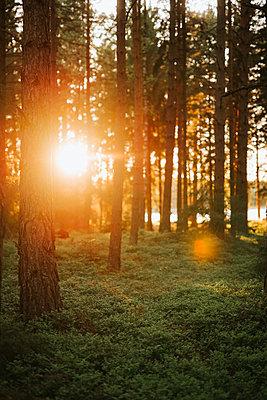 Sunbeams illuminate the forest - p1507m2193682 by Emma Grann