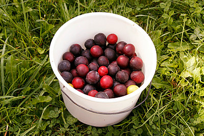 Bucket of plums - p1650433 by Andrea Schoenrock