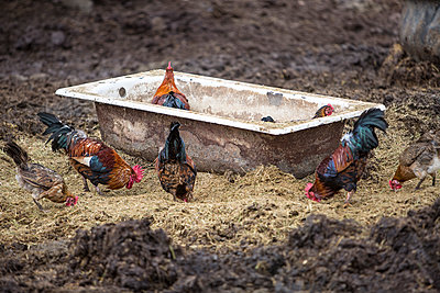 Chickens on a farm - p300m1191774 by zerocreatives