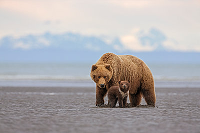 Grizzly Bear mother with cub digging for clams on tidal flats, Lake Clark National Park, Alaska - p884m1136207 by Ingo Arndt
