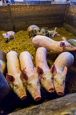 Pig farming - p076m1083062 by Tim Hoppe