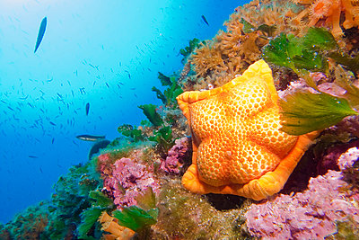 Biscuit Sea Star - p1026m872420f by Romulic Stojcic