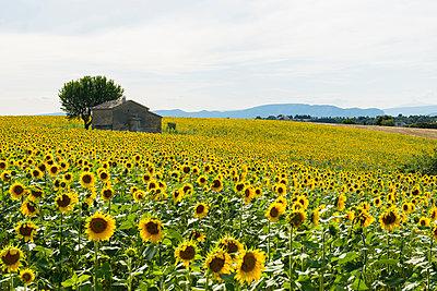 Sonnenblumenfeld, bei Valensole, Plateau de Valensole, Alpes-de-Haute-Provence, Provence, Frankreich - p1316m1161014 von Daniel Schoenen