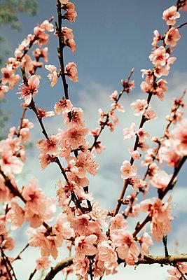 Almond blossom in spring - p382m2092618 by Anna Matzen