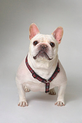 Small white Bulldog - p4421260f by Design Pics